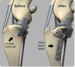 Tibial plateau- leveling osteotomy (TPLO) diagram