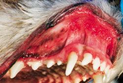 Photo showing a dog with Chronic Ulcerative Paradontal Stomatitis