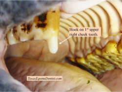 hooks on the cheek tooth of a horse can cause difficulty eating