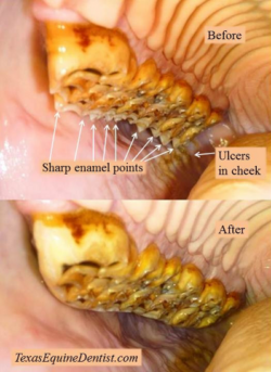 hooks on the sides of a horses teeth can lead to mouth ulcers and dietary problems