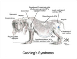 Cushing's Disease Symptoms in a dog can include; Increased thirst and urination  Increased hunger Panting Pot-bellied appearance to abdomen