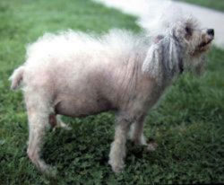 Cushing's Disease presented in a Poodle - note the pot-bellied appearance
