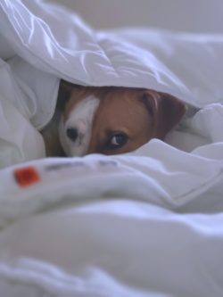 A dog cowering due to a storm phobia