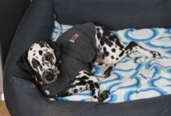 Thunderclap jackets can reduce a dogs anxiety in a storm